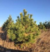 Christmas pine trees / Christmas trees wholesale