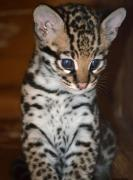 Exotic Cats for Looking for good Homes