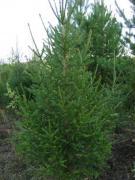 Предлагаю праздничные живые елки и сосны Оптом к Новому году 201