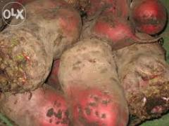 Selling an excellent fodder beet from the manufacturer